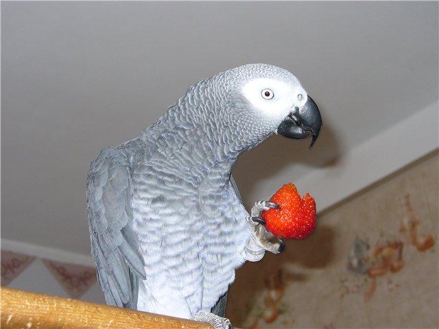 Краснохвостые Жако. ( Серый попугай). Объявление в разделе Животные в России в Санкт-Петербурге \ Птицы \ Продам
